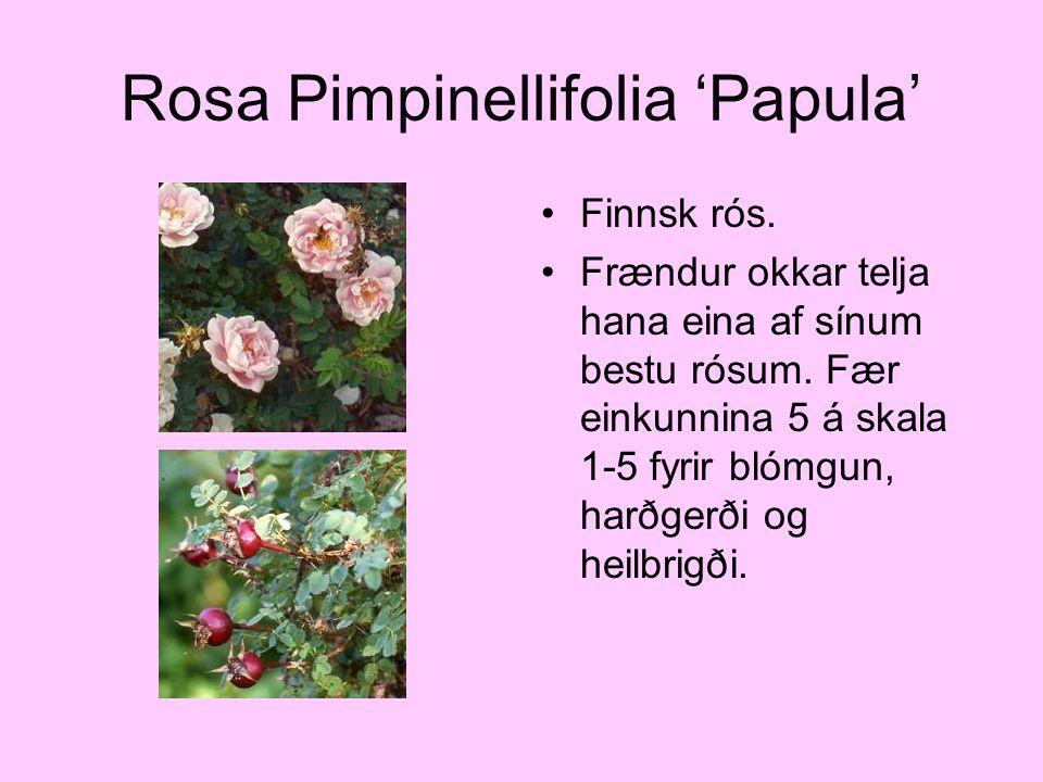 Rosa Pimpinellifolia 'Papula' Finnsk rós. Frændur okkar telja hana eina af sínum bestu rósum. Fær einkunnina 5 á skala 1-5 fyrir blómgun, harðgerði og