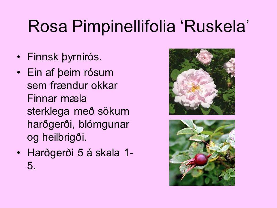Rosa Pimpinellifolia 'Ruskela' Finnsk þyrnirós. Ein af þeim rósum sem frændur okkar Finnar mæla sterklega með sökum harðgerði, blómgunar og heilbrigði