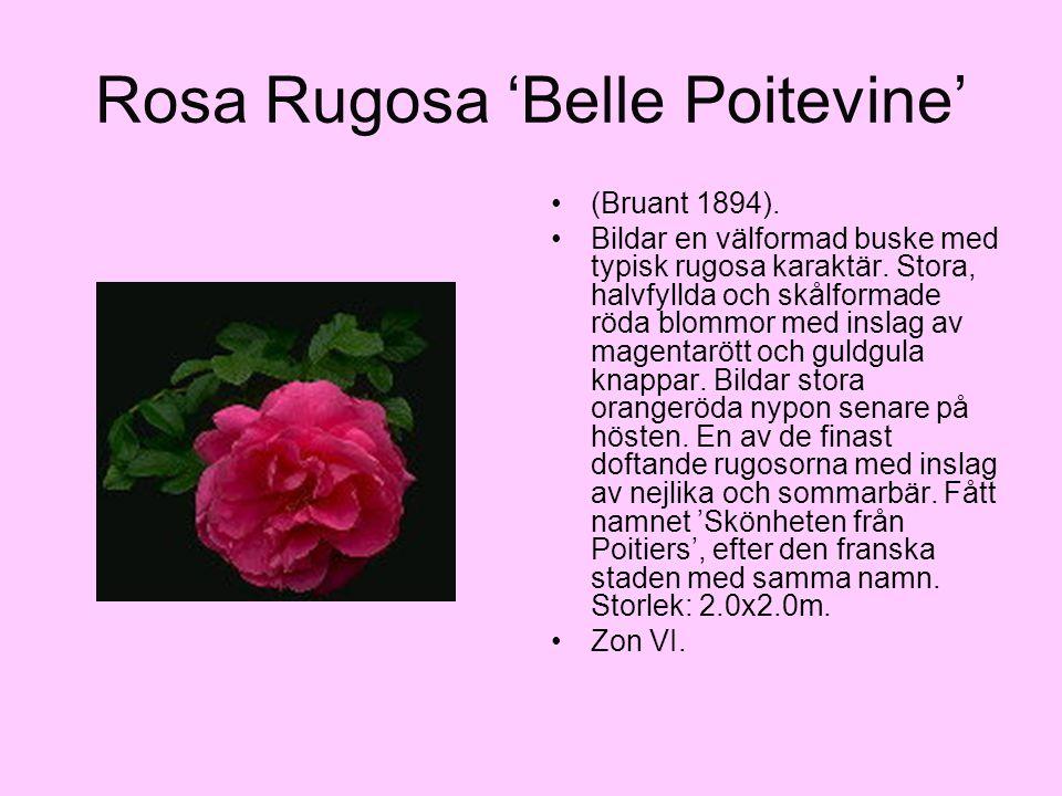 Rosa Rugosa 'Belle Poitevine' (Bruant 1894). Bildar en välformad buske med typisk rugosa karaktär. Stora, halvfyllda och skålformade röda blommor med