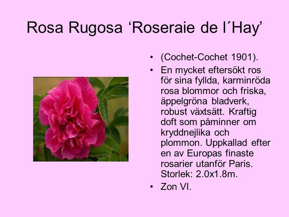 Rosa Rugosa 'Roseraie de l´Hay' (Cochet-Cochet 1901). En mycket eftersökt ros för sina fyllda, karminröda rosa blommor och friska, äppelgröna bladverk