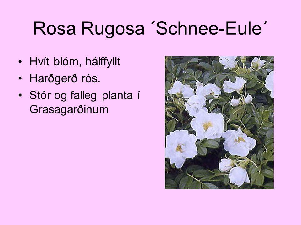 Rosa Rugosa ´Schnee-Eule´ Hvít blóm, hálffyllt Harðgerð rós. Stór og falleg planta í Grasagarðinum