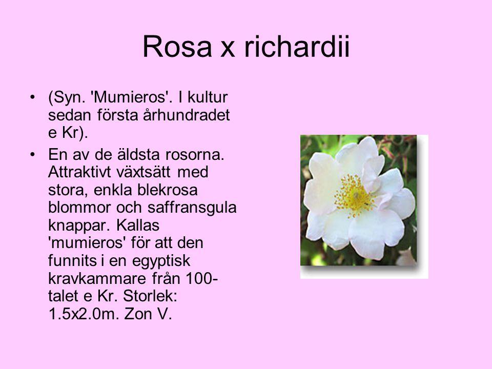 Rosa x richardii (Syn. 'Mumieros'. I kultur sedan första århundradet e Kr). En av de äldsta rosorna. Attraktivt växtsätt med stora, enkla blekrosa blo