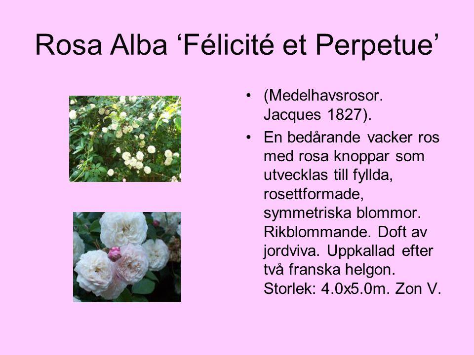 Rosa Alba 'Félicité et Perpetue' (Medelhavsrosor. Jacques 1827). En bedårande vacker ros med rosa knoppar som utvecklas till fyllda, rosettformade, sy