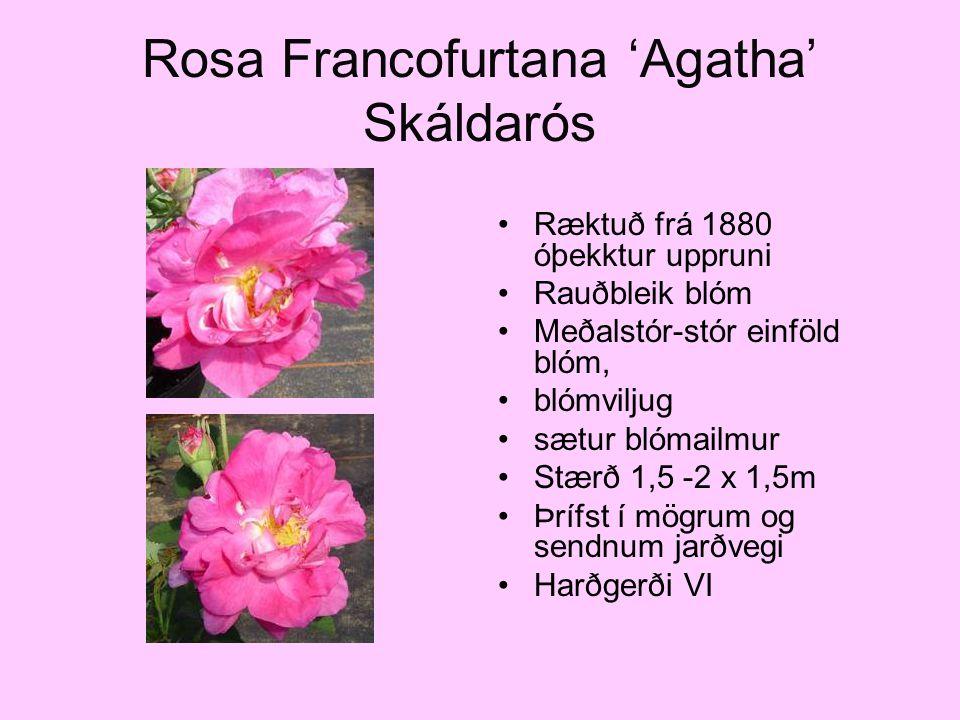 Rosa Francofurtana 'Agatha' Skáldarós Ræktuð frá 1880 óþekktur uppruni Rauðbleik blóm Meðalstór-stór einföld blóm, blómviljug sætur blómailmur Stærð 1