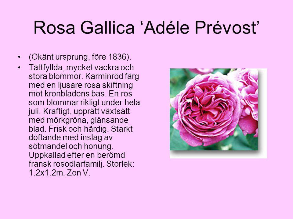 Rosa Gallica 'Adéle Prévost' (Okänt ursprung, före 1836). Tättfyllda, mycket vackra och stora blommor. Karminröd färg med en ljusare rosa skiftning mo
