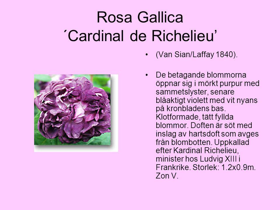 Rosa Gallica ´Cardinal de Richelieu' (Van Sian/Laffay 1840). De betagande blommorna öppnar sig i mörkt purpur med sammetslyster, senare blåaktigt viol