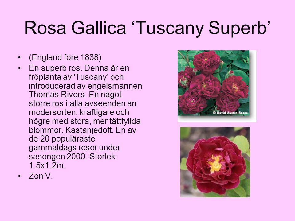 Rosa Gallica 'Tuscany Superb' (England före 1838). En superb ros. Denna är en fröplanta av 'Tuscany' och introducerad av engelsmannen Thomas Rivers. E