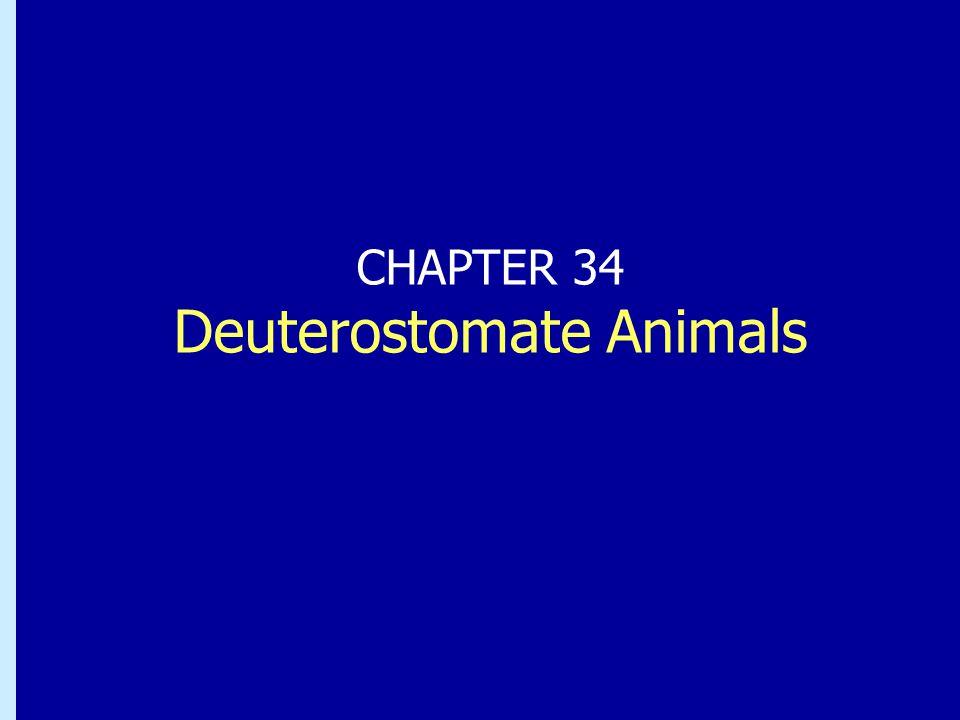 Chapter 33: Deuterostomate Animals Klass Actinopterygii, strålfeniga fiskar Den stora majoriteten fiskarter hör till denna gruppDen stora majoriteten fiskarter hör till denna grupp Stor variation i storlek och form, diet, livsstilStor variation i storlek och form, diet, livsstil Klass Actinistia, Lobfeniga fiskar Latimeria, kvastfeningen, ett levande fossilLatimeria, kvastfeningen, ett levande fossil sex nulevande arter,sex nulevande arter, andas luftandas luft Klass Dipnoi, lungfiskar