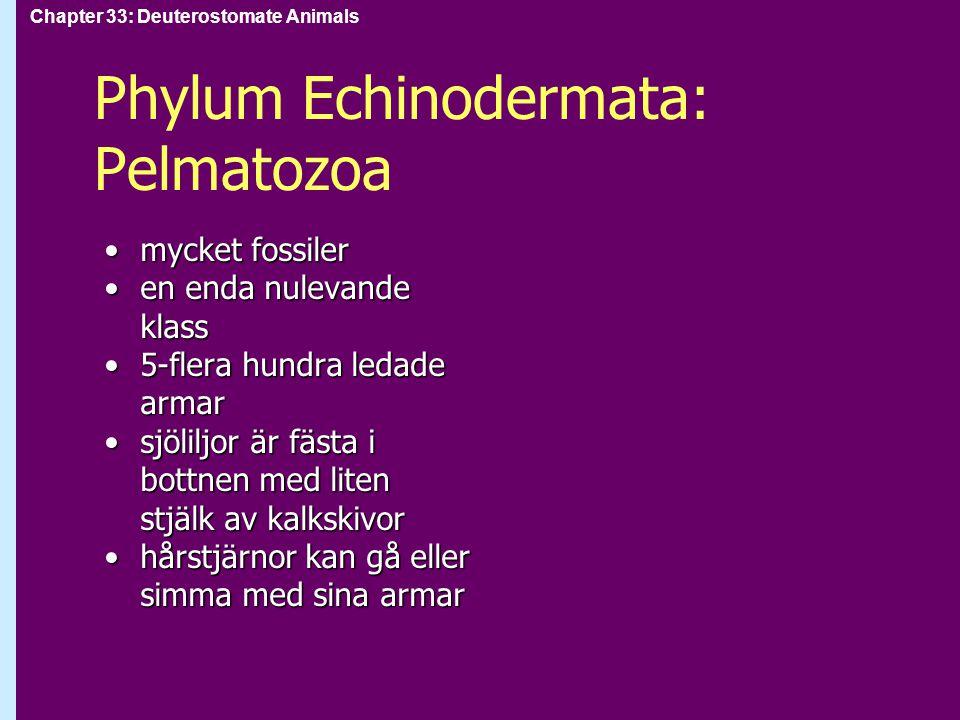 Chapter 33: Deuterostomate Animals Phylum Echinodermata: Pelmatozoa mycket fossilermycket fossiler en enda nulevande klassen enda nulevande klass 5-fl