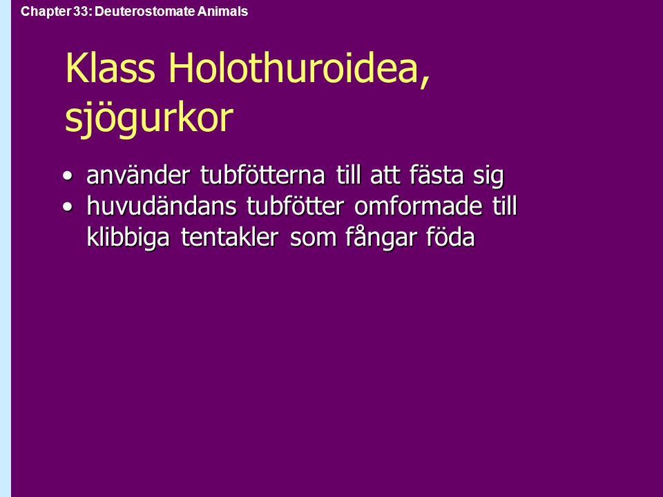 Chapter 33: Deuterostomate Animals Klass Holothuroidea, sjögurkor använder tubfötterna till att fästa siganvänder tubfötterna till att fästa sig huvud