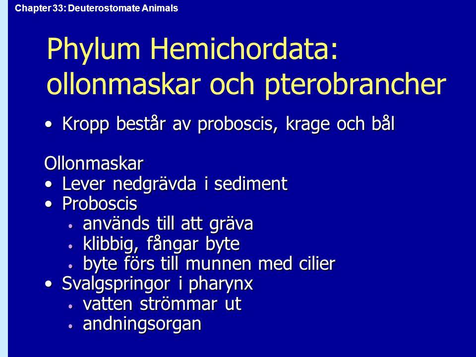 Chapter 33: Deuterostomate Animals Phylum Hemichordata: ollonmaskar och pterobrancher Kropp består av proboscis, krage och bålKropp består av probosci