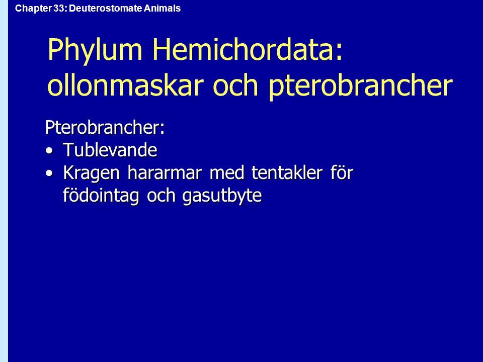 Chapter 33: Deuterostomate Animals Phylum Hemichordata: ollonmaskar och pterobrancher Pterobrancher: TublevandeTublevande Kragen hararmar med tentakle