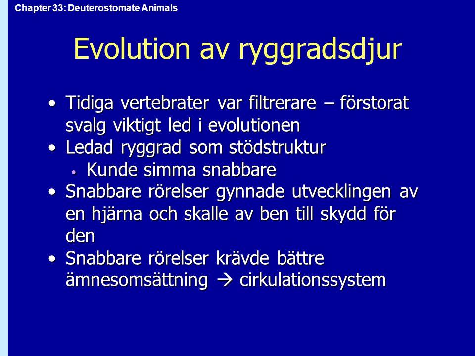 Chapter 33: Deuterostomate Animals Evolution av ryggradsdjur Tidiga vertebrater var filtrerare – förstorat svalg viktigt led i evolutionenTidiga verte