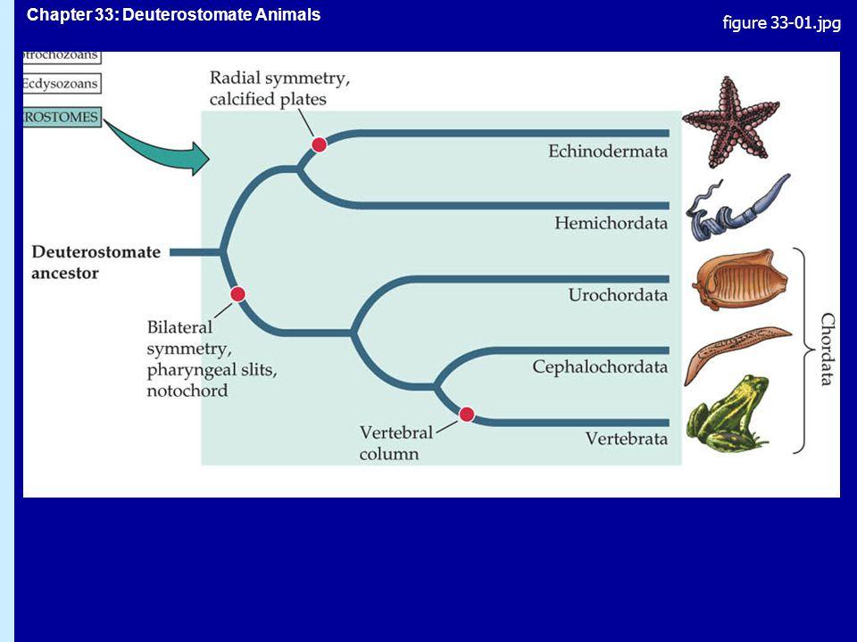 Chapter 33: Deuterostomate Animals Subphylum Vertebrata, ryggradsdjur: särdrag ryggrad, endoskelettryggrad, endoskelett två par lemmartvå par lemmar skalle, stor hjärnaskalle, stor hjärna utvecklade känselreceptorerutvecklade känselreceptorer utvecklad, stor kroppshålautvecklad, stor kroppshåla välutvecklat cirkulationssystem, hjärtavälutvecklat cirkulationssystem, hjärta