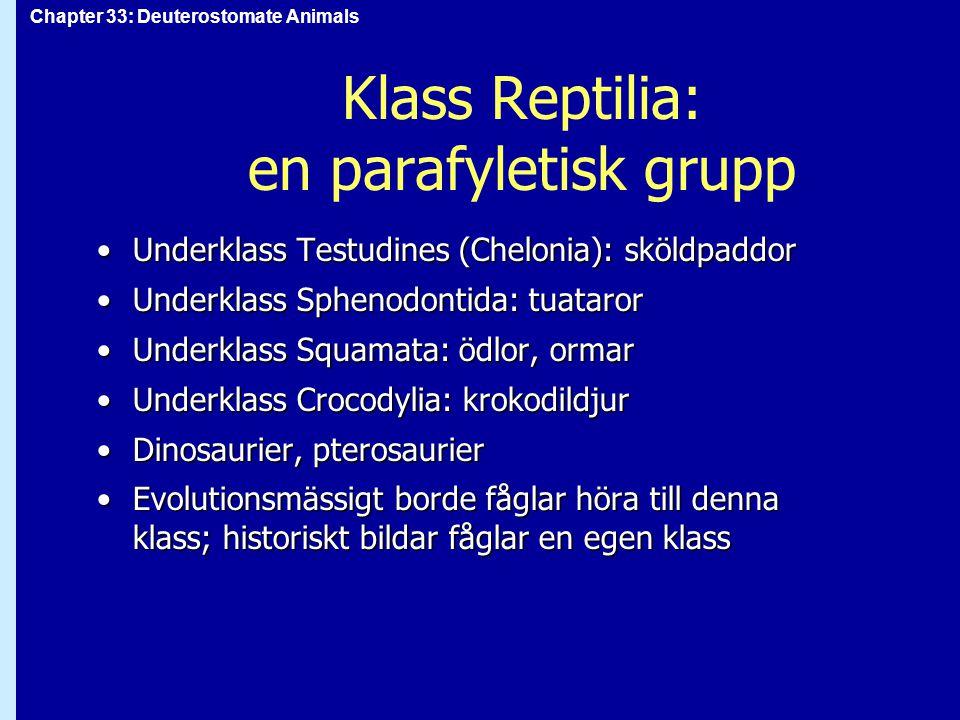 Chapter 33: Deuterostomate Animals Klass Reptilia: en parafyletisk grupp Underklass Testudines (Chelonia): sköldpaddorUnderklass Testudines (Chelonia)