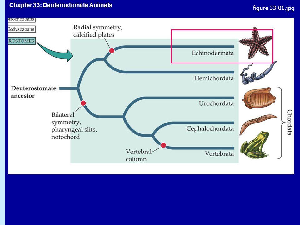 Chapter 33: Deuterostomate Animals Phylum Echinodermata: tagghudingar bilateralt symmetrisk larv (plankton), pentaradialsymmetrisk adultbilateralt symmetrisk larv (plankton), pentaradialsymmetrisk adult inre skelett av kalkplattor, täckta av muskler och hudinre skelett av kalkplattor, täckta av muskler och hud kanalsystem för vattencirkulation och tubfötter för gasutbyte, rörelser och födointag:kanalsystem för vattencirkulation och tubfötter för gasutbyte, rörelser och födointag: vatten strömmar in genom silplattan och går igenom kanalsystem till tubfötterna vatten strömmar in genom silplattan och går igenom kanalsystem till tubfötterna