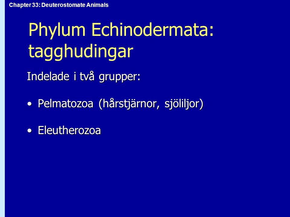 Chapter 33: Deuterostomate Animals Phylum Echinodermata: Pelmatozoa mycket fossilermycket fossiler en enda nulevande klassen enda nulevande klass 5-flera hundra ledade armar5-flera hundra ledade armar sjöliljor är fästa i bottnen med liten stjälk av kalkskivorsjöliljor är fästa i bottnen med liten stjälk av kalkskivor hårstjärnor kan gå eller simma med sina armarhårstjärnor kan gå eller simma med sina armar