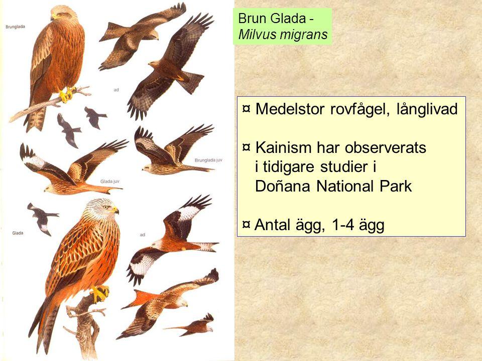 Brun Glada - Milvus migrans ¤ Medelstor rovfågel, långlivad ¤ Kainism har observerats i tidigare studier i Doñana National Park ¤ Antal ägg, 1-4 ägg