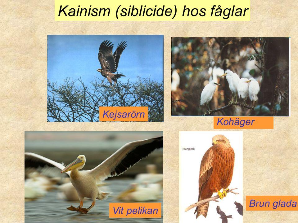 Kejsarörn Kohäger Vit pelikan Kainism (siblicide) hos fåglar Brun glada