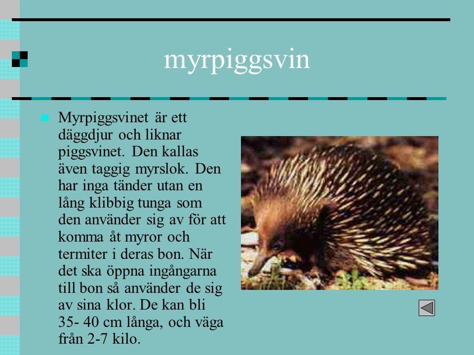 myrpiggsvin Myrpiggsvinet är ett däggdjur och liknar piggsvinet. Den kallas även taggig myrslok. Den har inga tänder utan en lång klibbig tunga som de