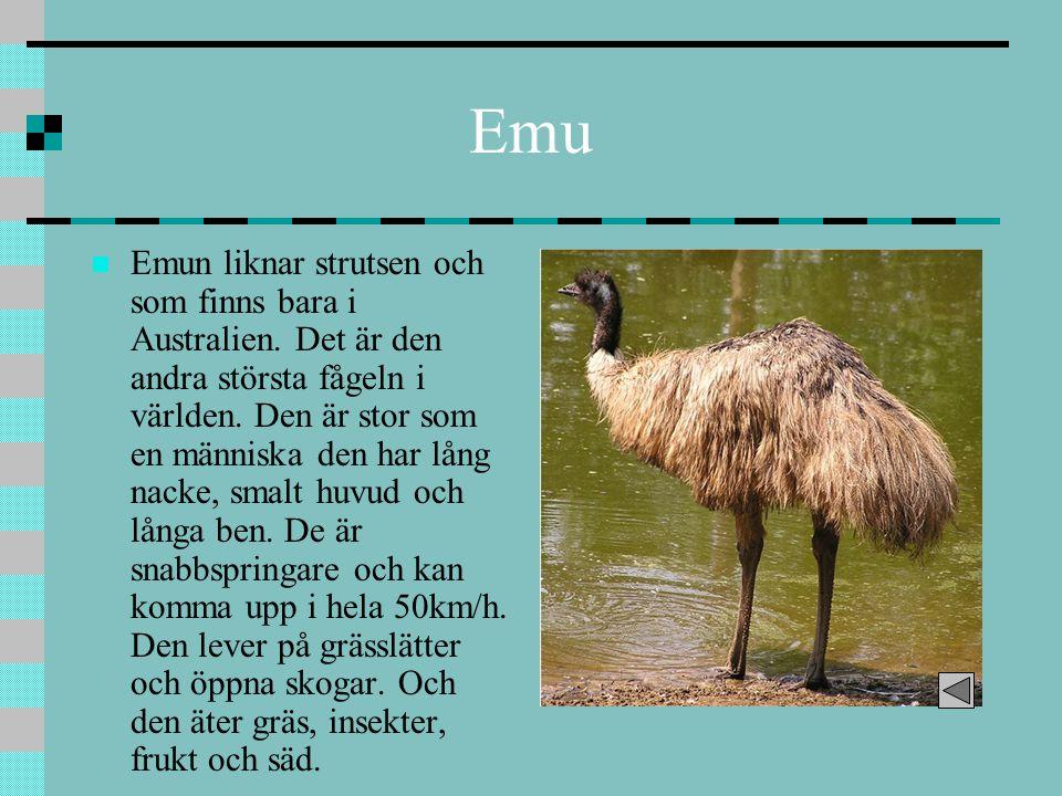 Emu Emun liknar strutsen och som finns bara i Australien. Det är den andra största fågeln i världen. Den är stor som en människa den har lång nacke, s