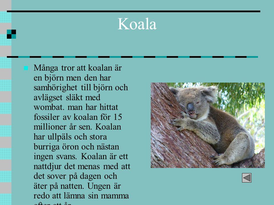 Koala Många tror att koalan är en björn men den har samhörighet till björn och avlägset släkt med wombat. man har hittat fossiler av koalan för 15 mil