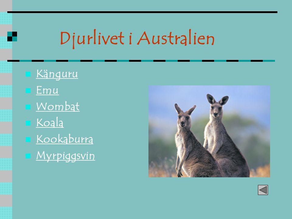 Känguru Emu Wombat Koala Kookaburra Myrpiggsvin Djurlivet i Australien