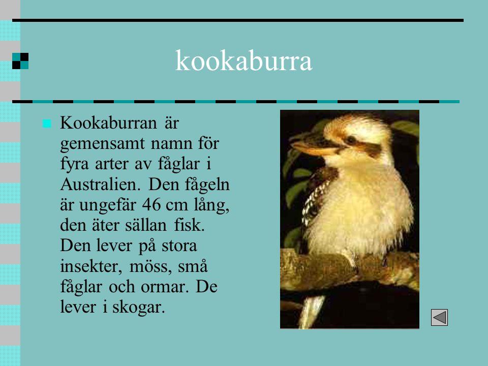 kookaburra Kookaburran är gemensamt namn för fyra arter av fåglar i Australien. Den fågeln är ungefär 46 cm lång, den äter sällan fisk. Den lever på s