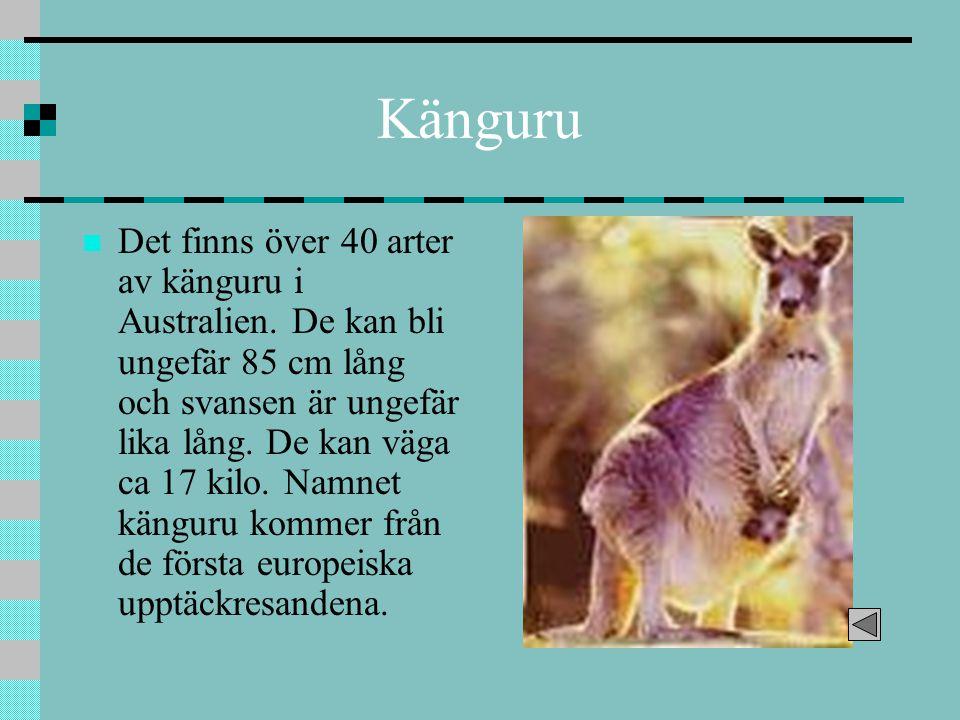 Känguru Det finns över 40 arter av känguru i Australien. De kan bli ungefär 85 cm lång och svansen är ungefär lika lång. De kan väga ca 17 kilo. Namne