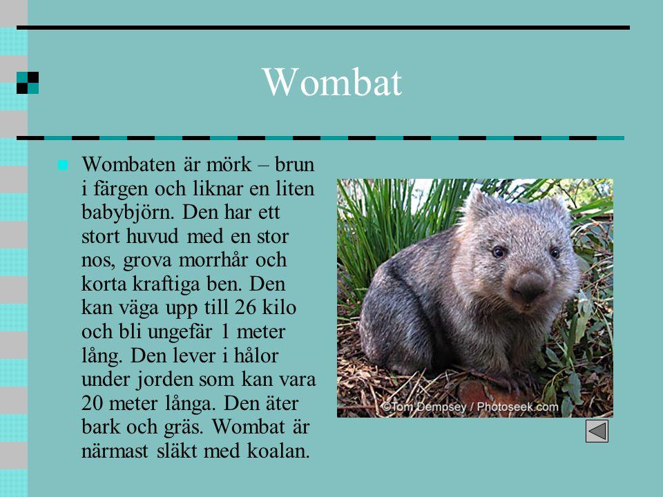 Wombat Wombaten är mörk – brun i färgen och liknar en liten babybjörn. Den har ett stort huvud med en stor nos, grova morrhår och korta kraftiga ben.
