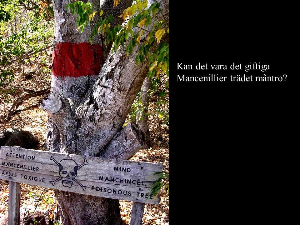Kan det vara det giftiga Mancenillier trädet måntro?