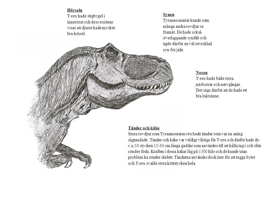 Hörseln T-rex hade stigbygel i innerörat och dess existens visar att djuret hade mycket bra hörsel. Synen Tyrannosaurier kunde som många andra rovdjur