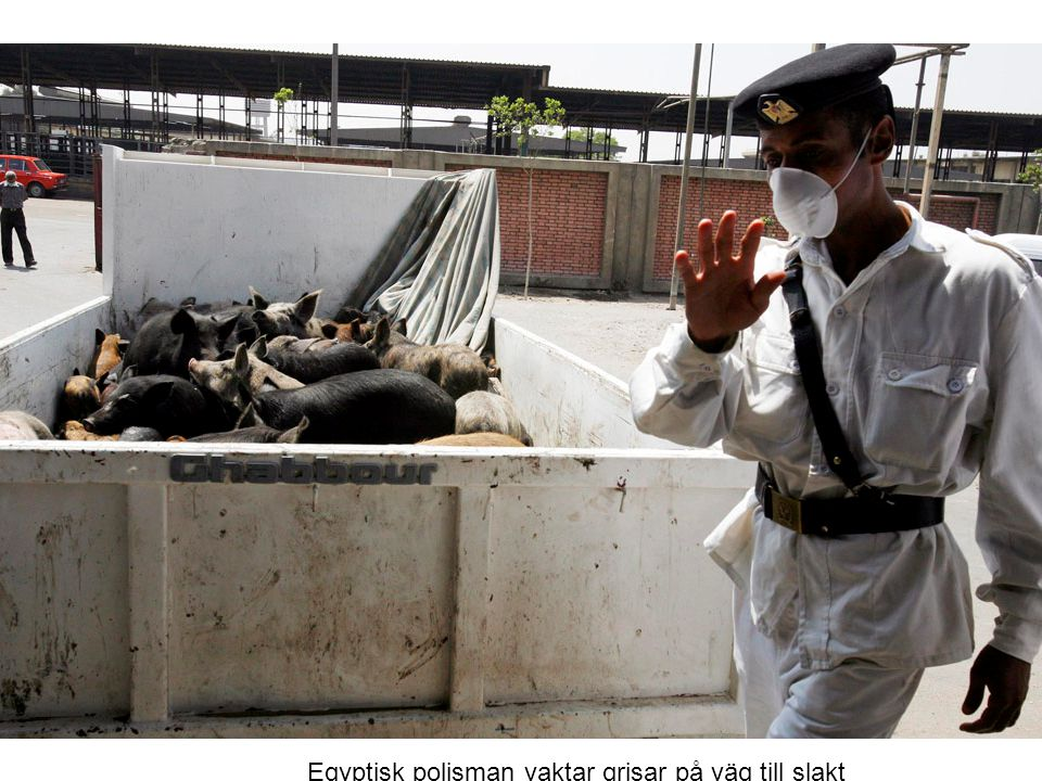 Egyptisk polisman vaktar grisar på väg till slakt