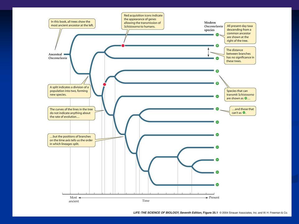 Begrepp Stamegenskap (ancestral trait): Stamegenskap (ancestral trait): egenskap ärvd av förfader Homologa egenskaper: egenskaper som besläktade arter har ärvt av samma stamfader (t.ex.