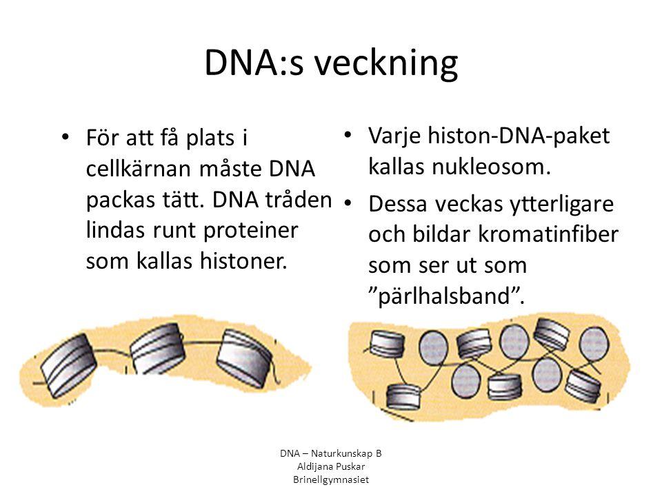 DNA:s veckning För att få plats i cellkärnan måste DNA packas tätt. DNA tråden lindas runt proteiner som kallas histoner. Varje histon-DNA-paket kalla