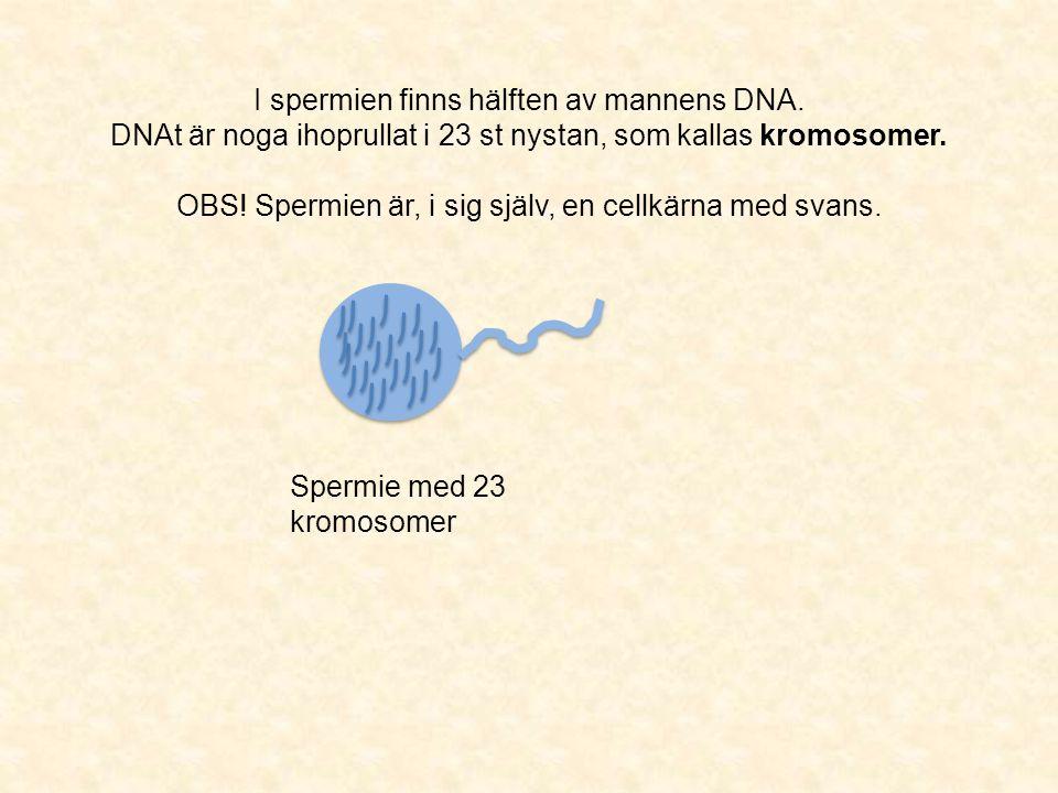 I spermien finns hälften av mannens DNA. DNAt är noga ihoprullat i 23 st nystan, som kallas kromosomer. OBS! Spermien är, i sig själv, en cellkärna me