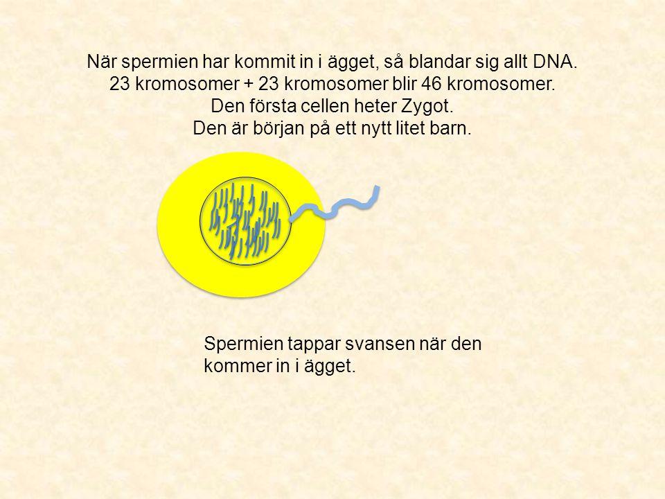 När spermien har kommit in i ägget, så blandar sig allt DNA. 23 kromosomer + 23 kromosomer blir 46 kromosomer. Den första cellen heter Zygot. Den är b