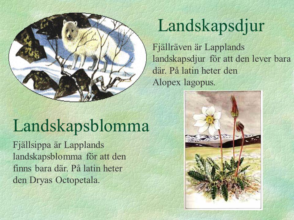 Landskapsdjur Fjällräven är Lapplands landskapsdjur för att den lever bara där.