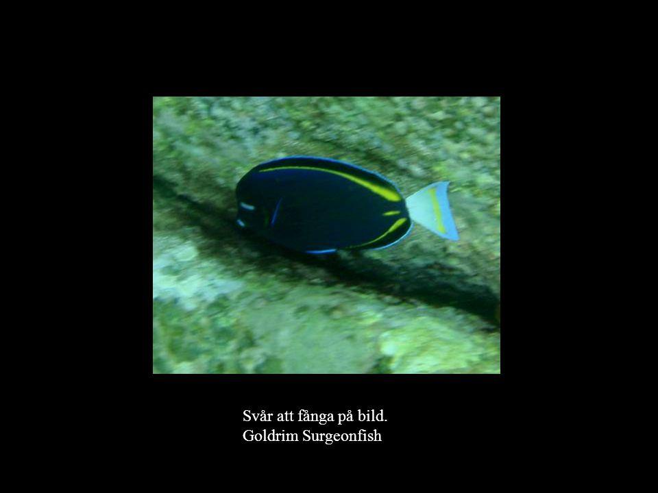 Svår att fånga på bild. Goldrim Surgeonfish