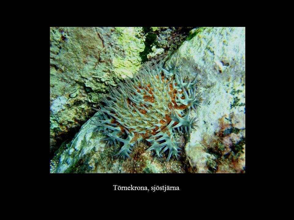 Törnekrona, sjöstjärna