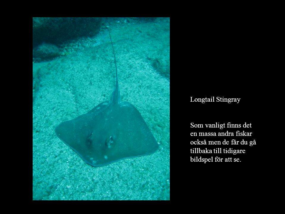 Longtail Stingray Som vanligt finns det en massa andra fiskar också men de får du gå tillbaka till tidigare bildspel för att se.