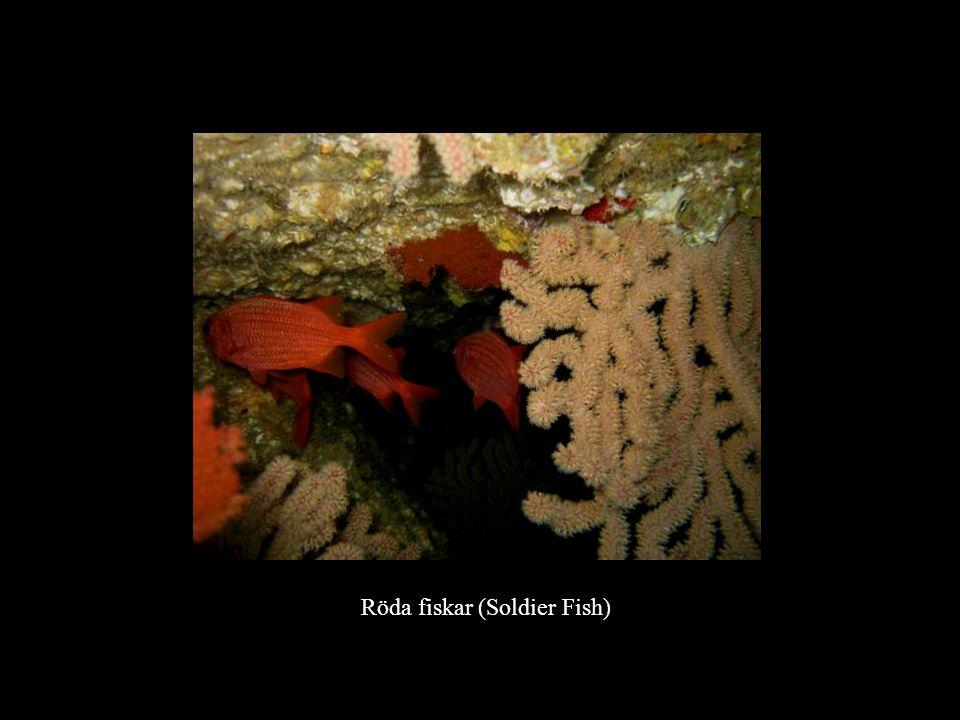 Röda fiskar (Soldier Fish)