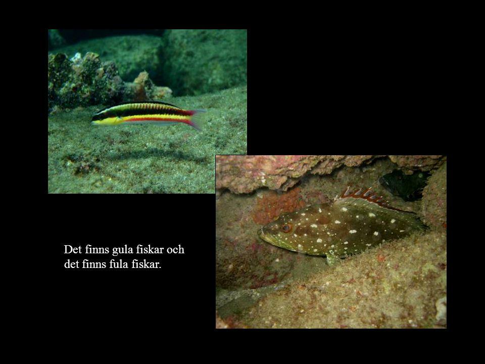 Det finns gula fiskar och det finns fula fiskar.
