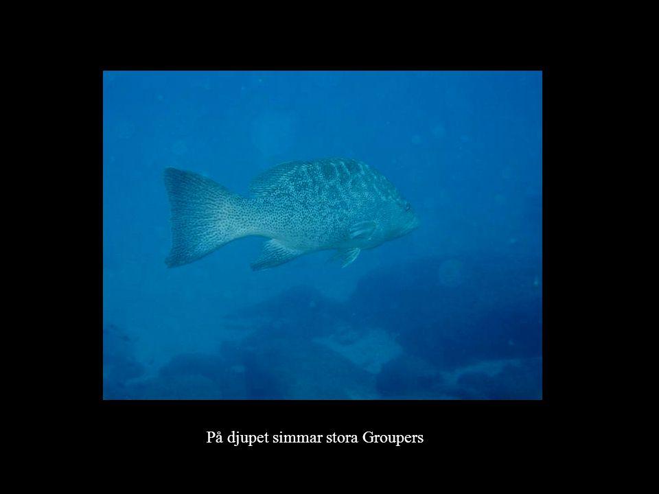 På djupet simmar stora Groupers