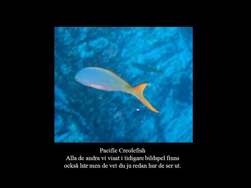 Pacific Creolefish Alla de andra vi visat i tidigare bildspel finns också här men de vet du ju redan hur de ser ut.