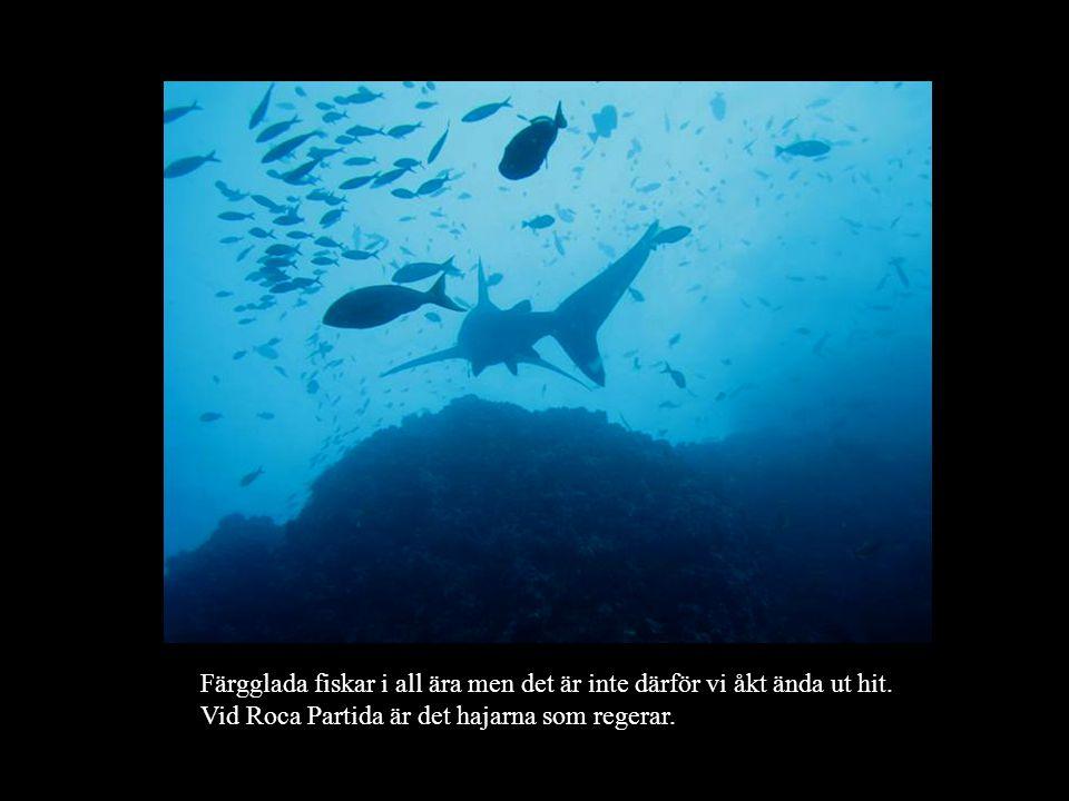 Färgglada fiskar i all ära men det är inte därför vi åkt ända ut hit. Vid Roca Partida är det hajarna som regerar.
