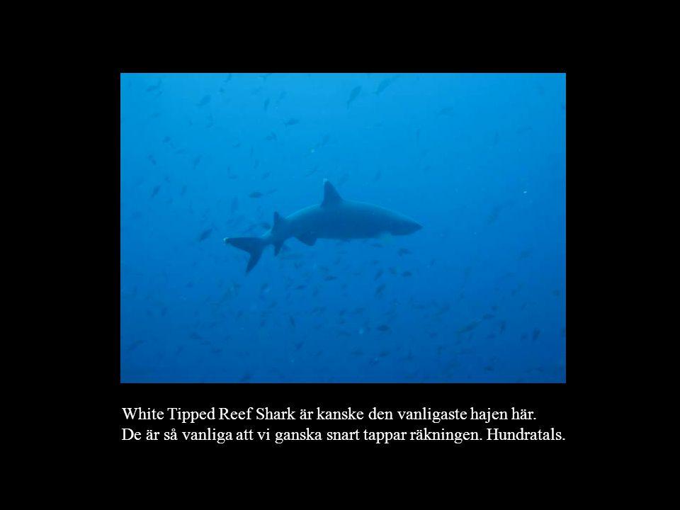 White Tipped Reef Shark är kanske den vanligaste hajen här. De är så vanliga att vi ganska snart tappar räkningen. Hundratals.