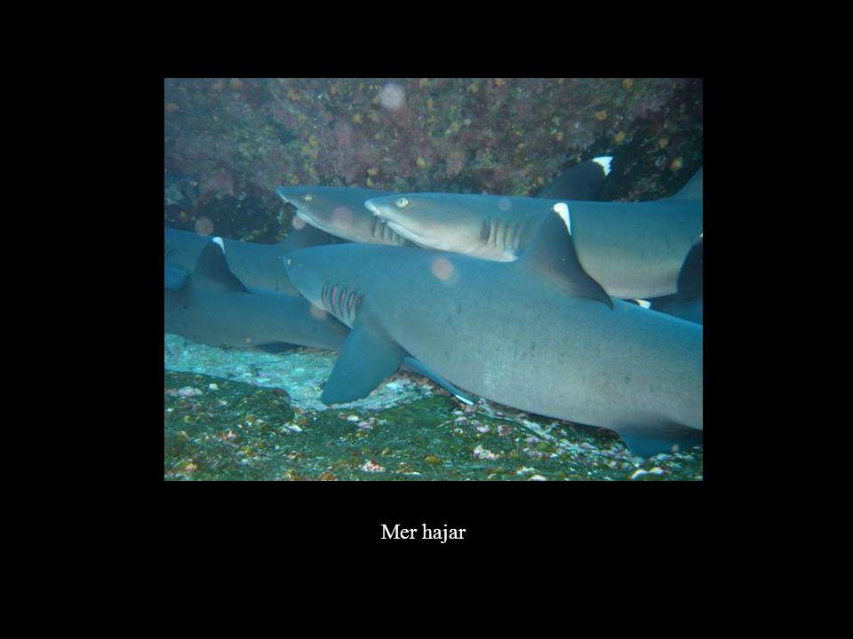 Mer hajar