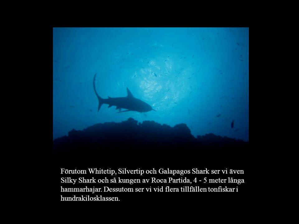 Förutom Whitetip, Silvertip och Galapagos Shark ser vi även Silky Shark och så kungen av Roca Partida, 4 - 5 meter långa hammarhajar. Dessutom ser vi