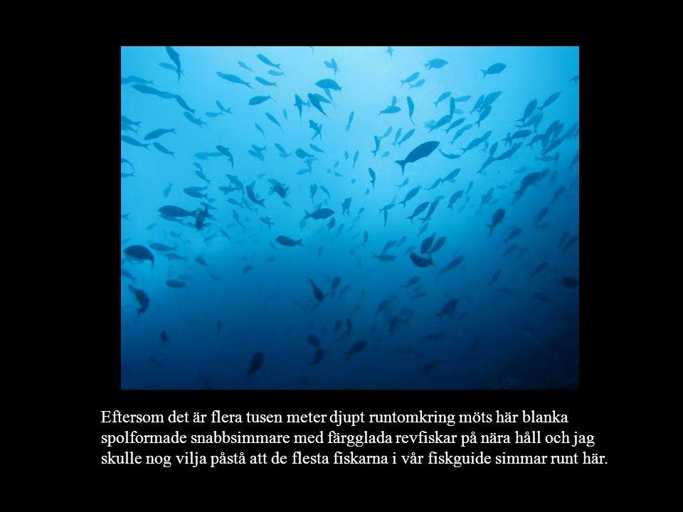 Eftersom det är flera tusen meter djupt runtomkring möts här blanka spolformade snabbsimmare med färgglada revfiskar på nära håll och jag skulle nog vilja påstå att de flesta fiskarna i vår fiskguide simmar runt här.